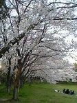 大泉公園の満開の桜