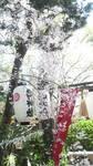 堀越神社の桜