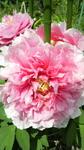 牡丹の花満開