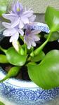 自宅浮き草のお花さん